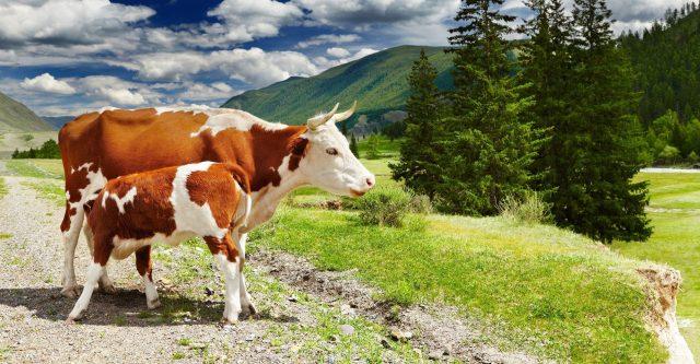 Wenn sich Kühe und Wanderer begegnen ⚠️