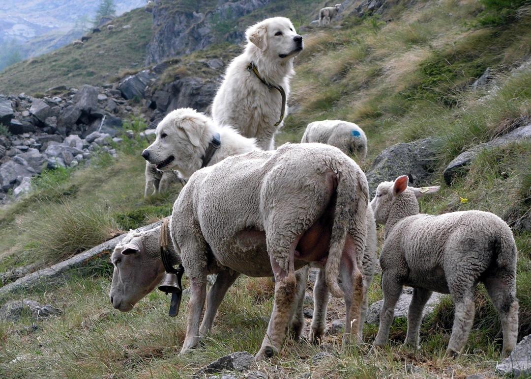 Herdenschutzhunde in der Schweiz (Foto: herdenschutzschweiz.ch).