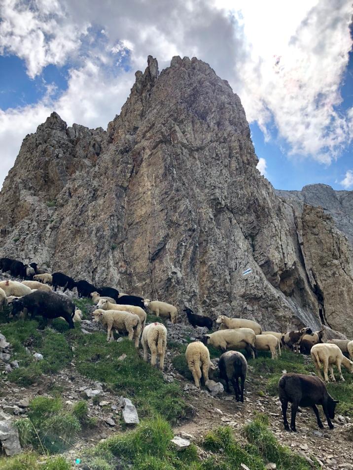 Schafe auf dem Widderalpsattel.